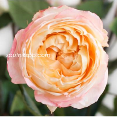 Роза пионовидная Princess Aiko