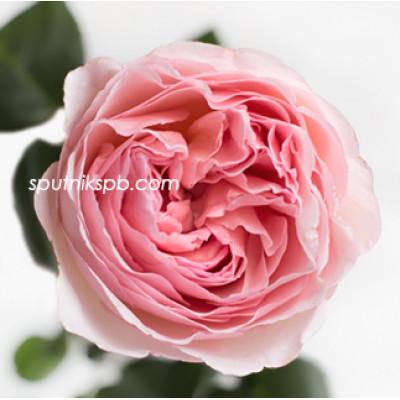 Роза пионовидная Princess Charlene of Monaco