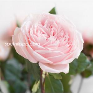 Роза пионовидная Принцесса Хитоми | Princess Hitomi Rose