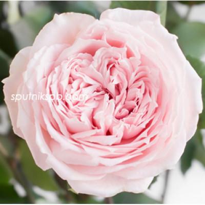 Роза пионовидная Princess Hitomi