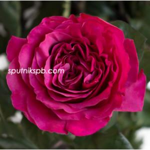 Роза пионовидная Принцесса Киши | Princess Kishi Rose