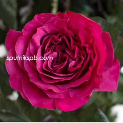 Роза пионовидная Princess Kishi
