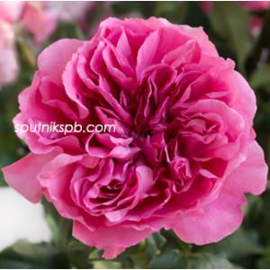 Роза пионовидная Принцесса Мейко | Princess Meiko Rose