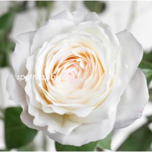 Роза пионовидная Принцесса Миюки | Princess Miyuki Rose