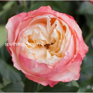 Роза пионовидная Принцесса Суки | Princess Suki Rose