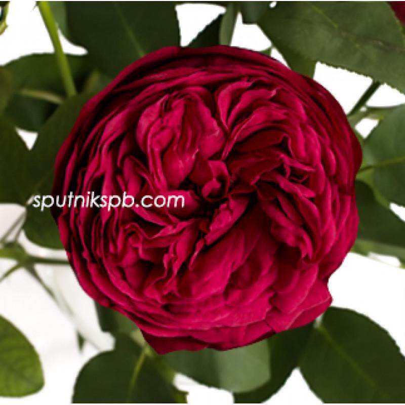 Купить розы Ред Пиано оптом в СПб