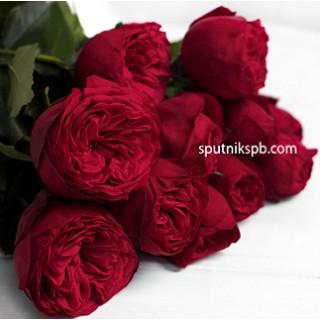 Роза пионовидная Ред Пиано | Red Piano Rose