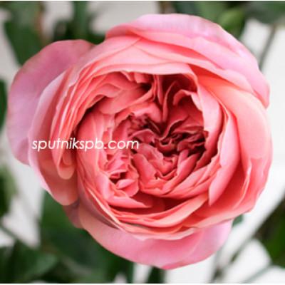 Роза пионовидная Romantic Antike