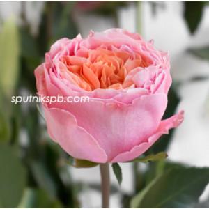 Роза пионовидная Роза Лавс Ми | Rosa Loves Me Rose
