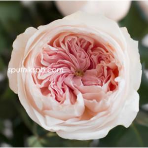 Роза пионовидная Сабрина | Sabrina Rose