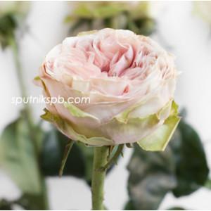 Роза пионовидная Сенлитсу | Senlitsu Rose