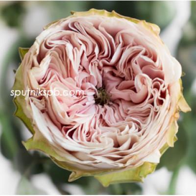 Роза пионовидная Senlitsu