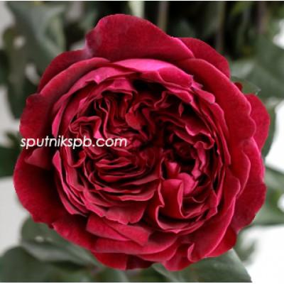 Роза пионовидная Tess David Austin