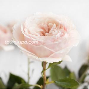 Роза пионовидная Тсумуги | Tsumugi Rose