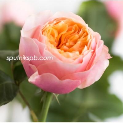 Оптовая цветочная база «Спутник»: купить пионовидные розы Vuvuzela оптом