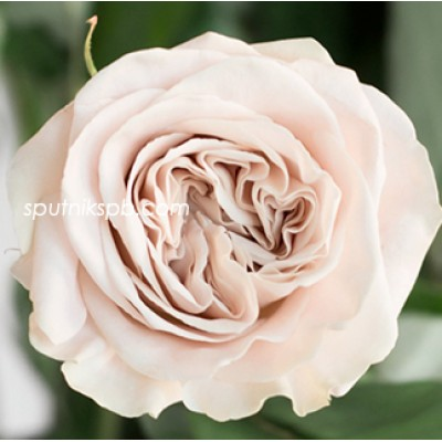 Роза пионовидная Westminster Abbey