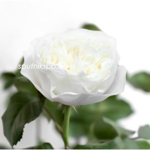 Роза пионовидная Вайт Клауд | White Cloud Rose