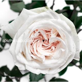 Роза пионовидная White O`Hara