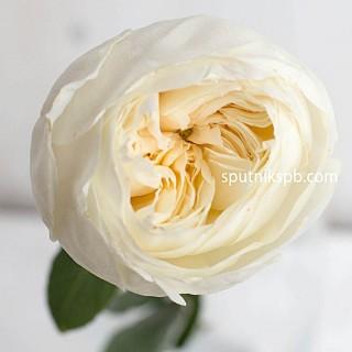 Роза пионовидная White cloud