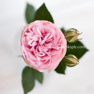 Роза пионовидная Bridal Piano