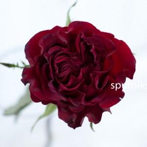 Роза садовая heart