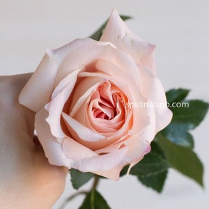 Роза садовая Mayra Bridal Pink