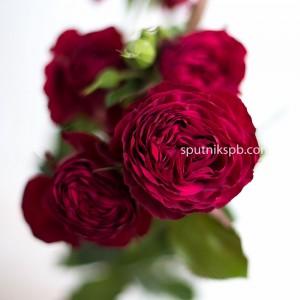 Кустовая пионовидная роза Red Lace