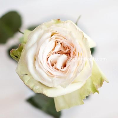 Роза садовая White O`hara