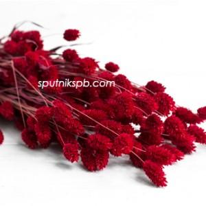 Фалярис красный
