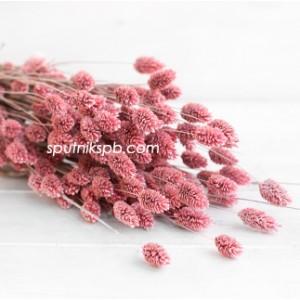 Фалярис розовый
