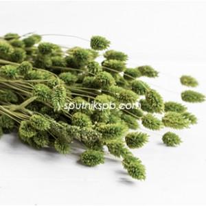Фалярис зеленый