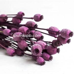 Папавер ярко-фиолетовый