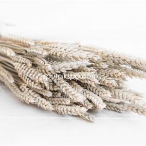 Тритикум (пшеница) белый