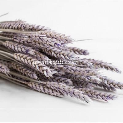 Тритикум (пшеница) фиолетовый