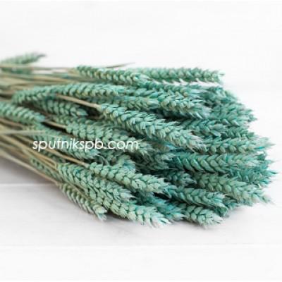 Тритикум (пшеница) изумрудный