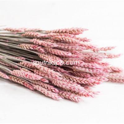 Тритикум (пшеница) розовый