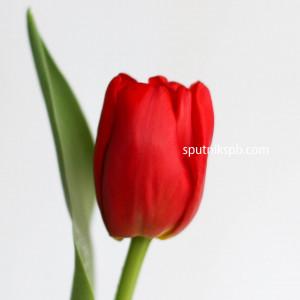 Тюльпан Arie Alkimeyds Memori