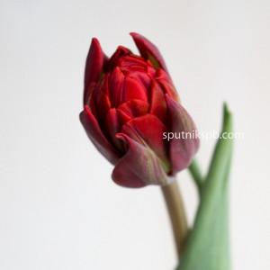 """Тюльпан Красный """"Double"""""""