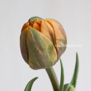 Тюльпан Orange Princes