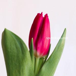 Тюльпан PINK ARDOUR