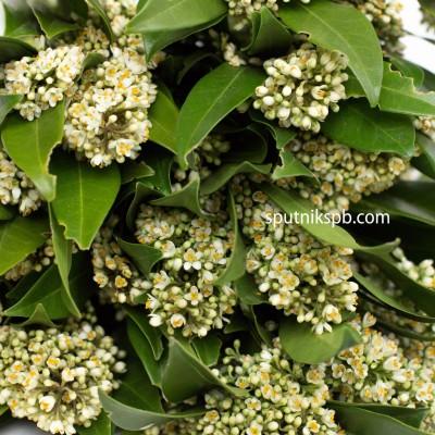 Скиммия с цветочками
