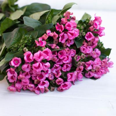 Бувардия темно-розовая Hot Pink