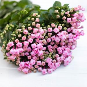 Бувардия Light pink