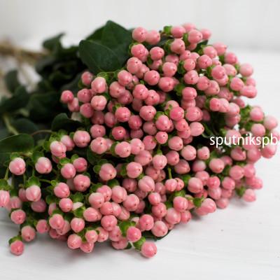 Гиперикум розовый   Hypericum Pink
