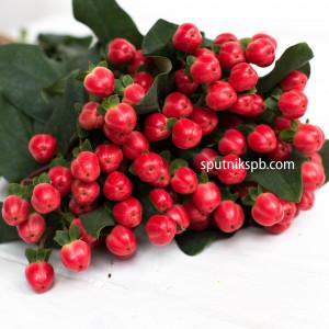 Гиперикум красный | Hypericum Red