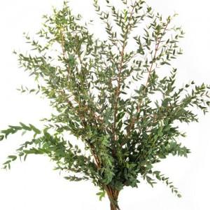 Эвкалипт Парвифолия | Eucalyptus Parvifolia