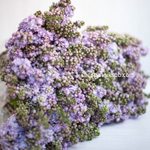 Сирень сиреневая | Syringa Purpure