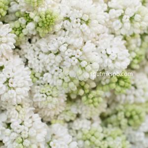 Сирень белая | Syringa White